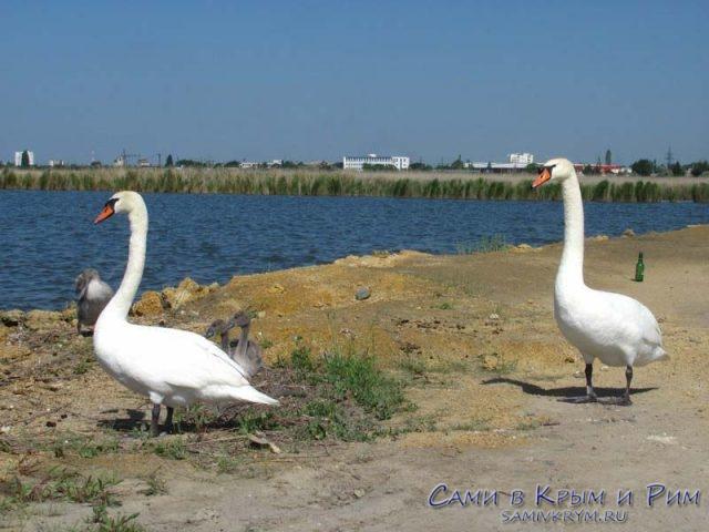 лебеди-на-берегу