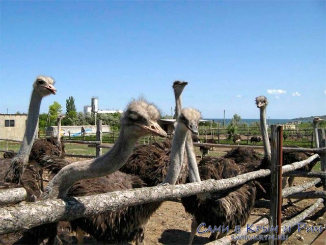 страусы-на-ферме