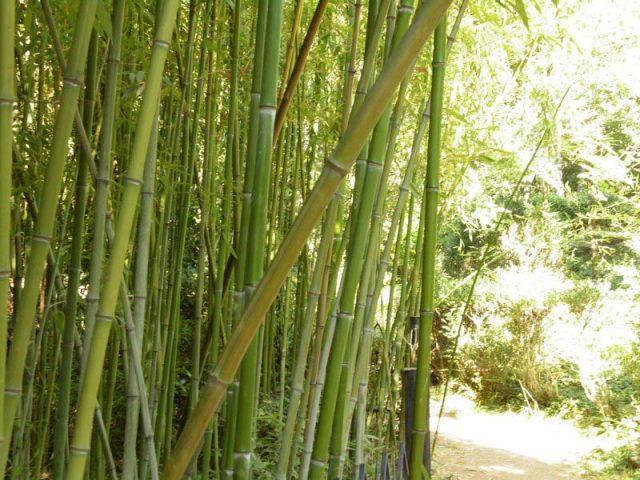 Бамбук-в-парке