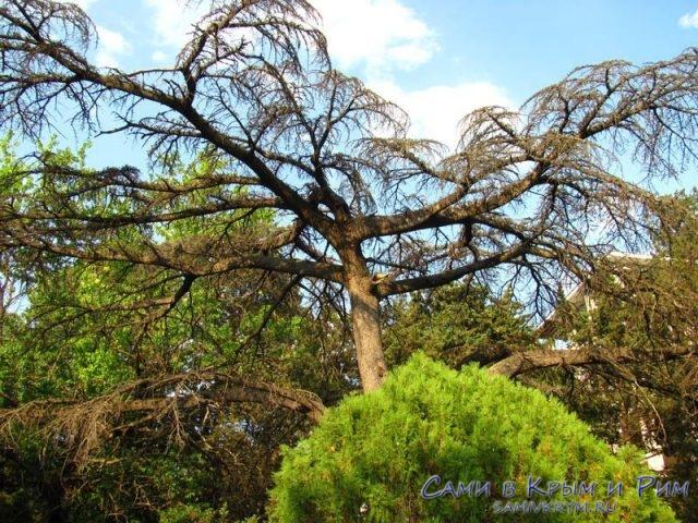 Вековые деревья на рядом с Мордвиновским дворцом