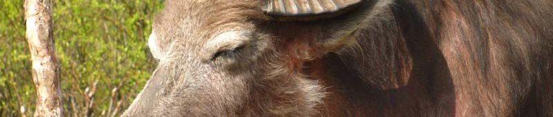 Непальские коровы