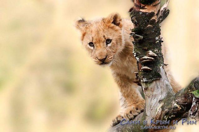 Детеныши льва