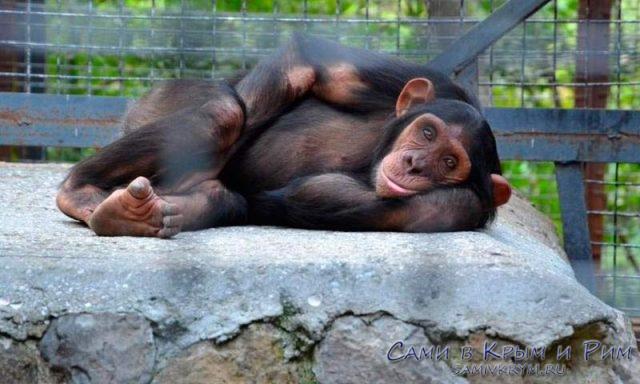 Добродушная обезьяна