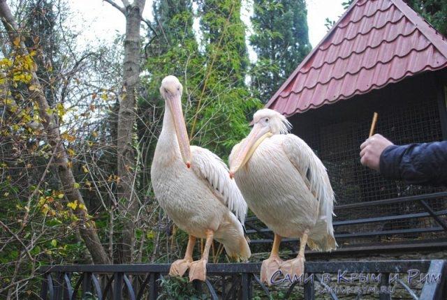 Пеликаны в Зоопарке работают сторожами