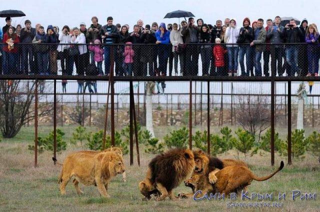 Схватка львов за кусок мяса