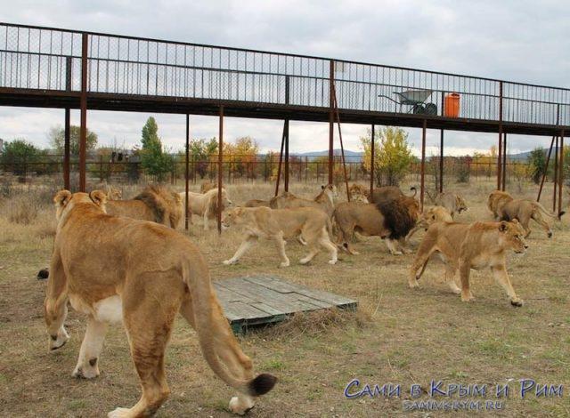 У львов и тигров какая-то движуха