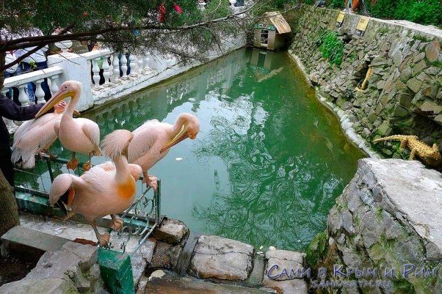 Вездесущие пеликаны