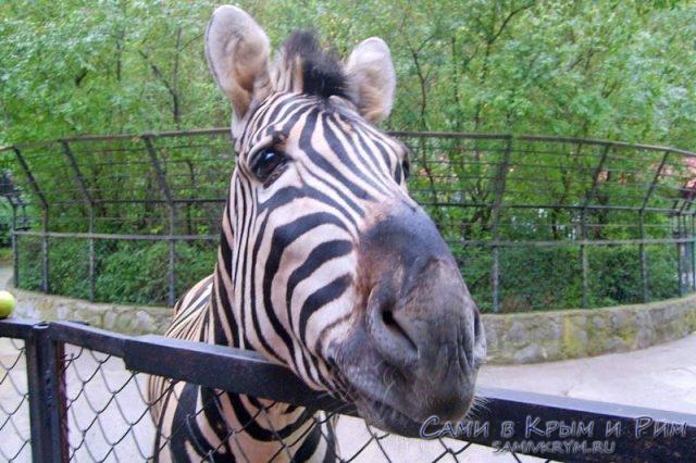 Зебра готова к знакомству