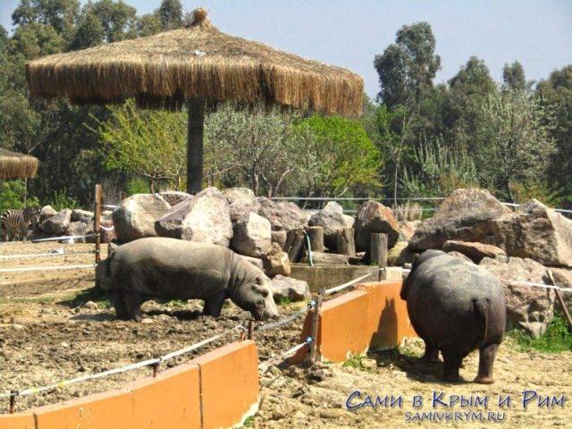 Бегемоты в зоопарке