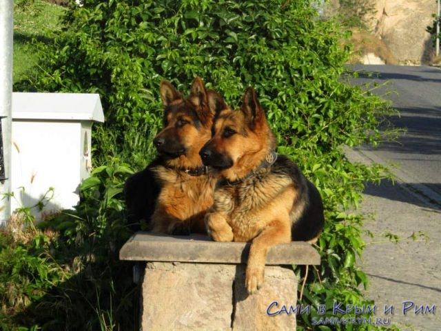 Добрый-собаки-в-Гереме