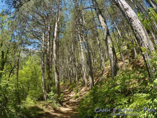 Сосновый лес на тропе