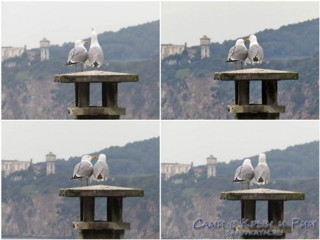 Влюбленные чайки