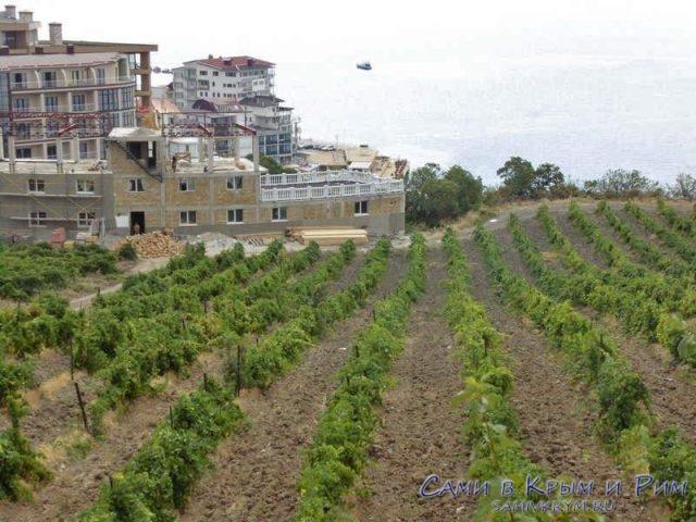 Виноградники в Отрадном