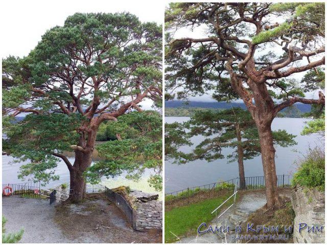 Красивые-деревья-у-Макарти-Мор-замка
